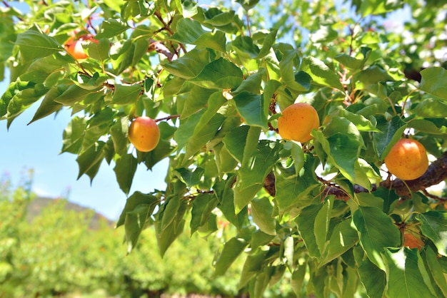 Close em damascos crescendo na árvore em um campo sob o céu azul
