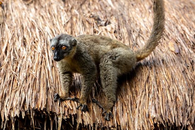 Close em lemur no telhado de palha de um edifício