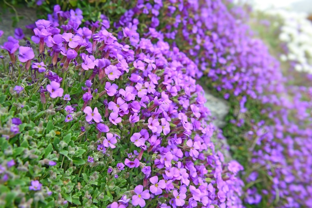Close em um belo arbusto de flores de sino roxas florescendo em uma parede