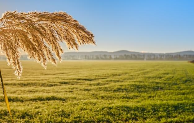 Close em um galho de junco iluminado pelo sol nascente contra a luz de um campo verde