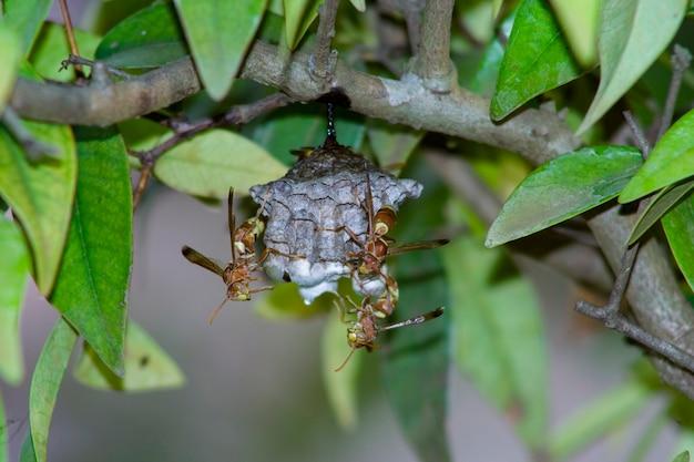 Close em um par de vespas em seu ninho