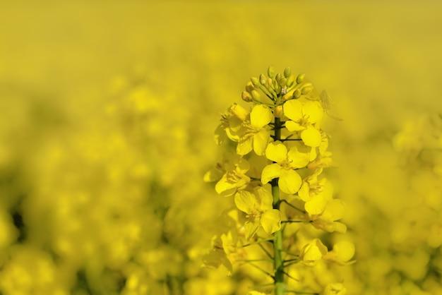 Close em uma flor de colza crescendo sob um fundo desfocado amarelo
