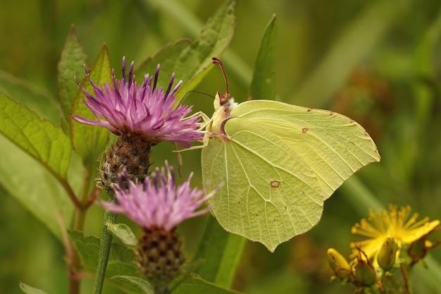 Close lateral de uma borboleta de enxofre, gonepteryx rhamni na p.