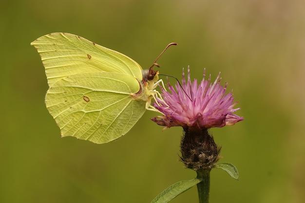 Close lateral de uma borboleta de enxofre, gonepteryx rhamni na p
