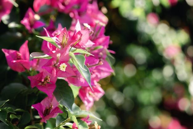 Close lindo de espectabilis de buganville roxa