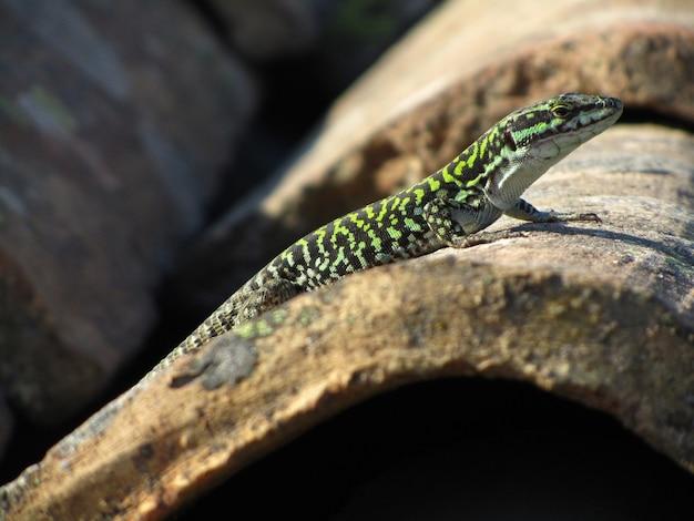 Close lindo de um lagarto de parede siciliano verde em uma rocha