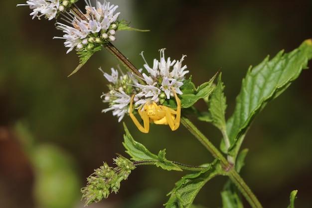 Close macro de uma minúscula aranha amarela rastejando em uma flor