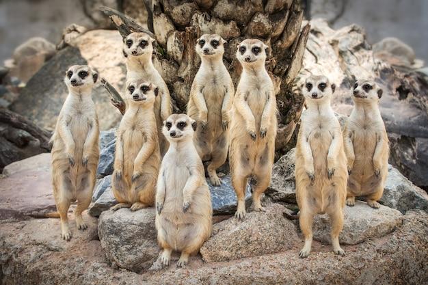 Close na família suricata em pé na rocha