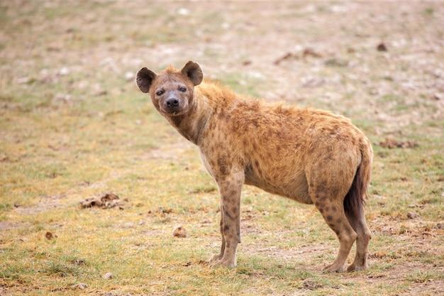 Close na hiena assistindo no safári