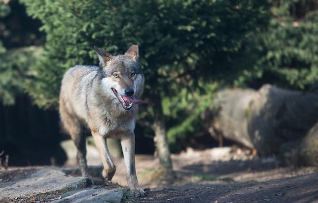 Close na matilha de lobos na floresta