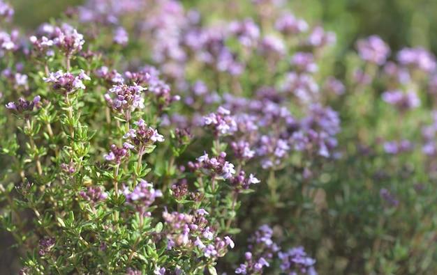 Close nas flores de uma planta saborosa florescendo em um jardim