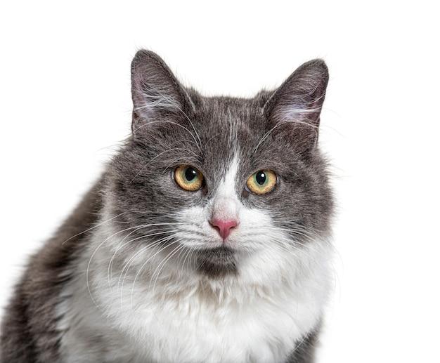 Close no olho azul de um jovem gato mestiço