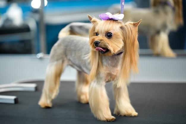 Close no yorkshire terrier após o corte de cabelo