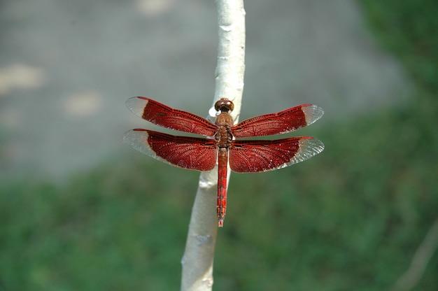 Close seletivo de uma libélula vermelha