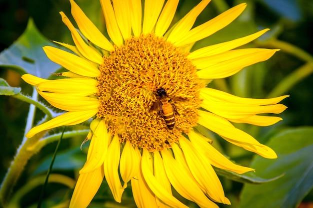 Close up abelha inserida no girassol