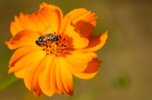 Close-up, abelha na flor do cosmos.