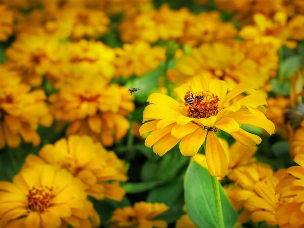 Close-up abelhas na flor de calêndula