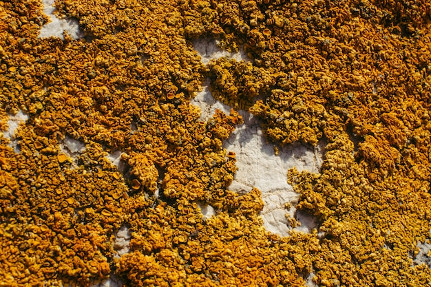 Close-up alaranjado do líquene em uma rocha. textura natural.