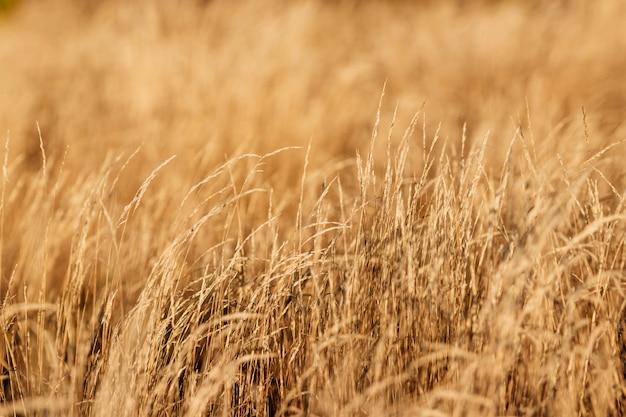 Close-up amarelo da grama do outono.