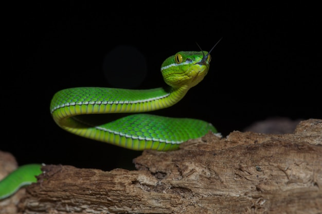 Close-up amarelo labial cobra verde pit viper