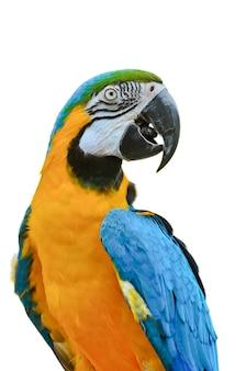 Close-up arara azul e dourada, nome científico ara ararauna, papagaio bonito com colorido azul e amarelo brilhante, animal ou vida selvagem isolada no fundo branco