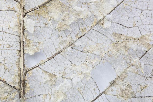 Close-up belas folhas secas, esqueleto folhas sobre fundo branco, com espaço de cópia
