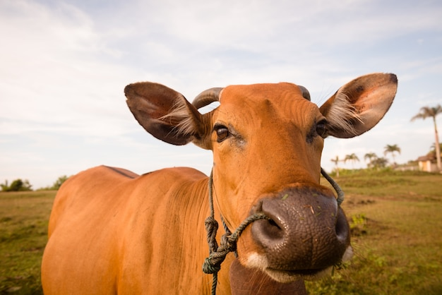 Close up bonito da vaca