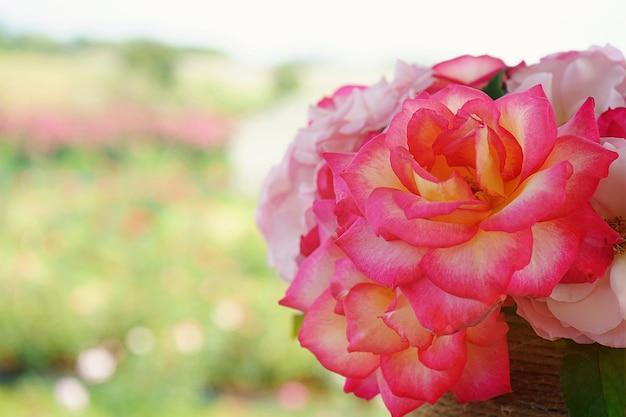 Close-up bonito dois tons rosa flor flor no jardim verde, fundo de natureza