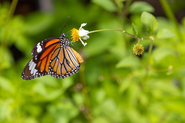 Close-up borboleta tigre comum na margarida branca e desfocar a folha verde