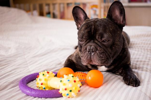 Close-up bulldog francês tigrado brincando com seus brinquedos na cama