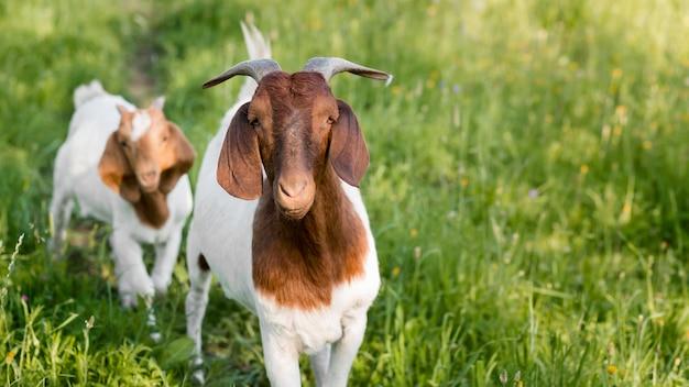 Close-up cabras na fazenda