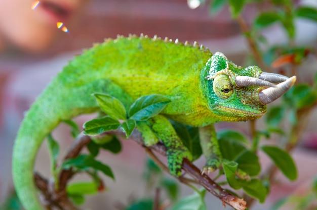 Close-up camaleão com chifres verdes
