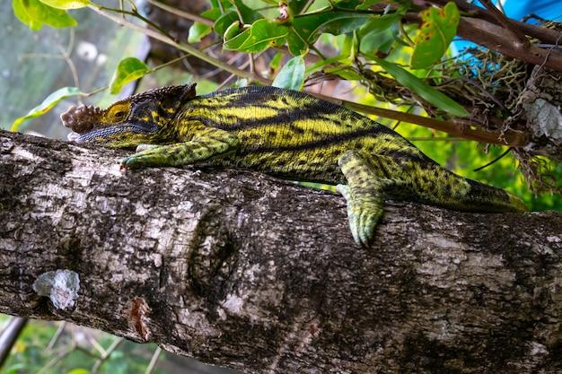 Close-up camaleão em um galho