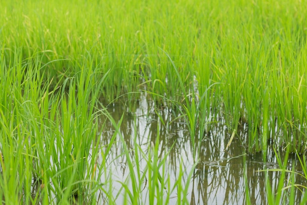 Close-up campo de arroz verde crescendo em fazenda de arroz na estação das chuvas