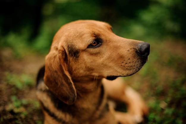Close-up cara marrom gengibre cachorro olhando para o lado