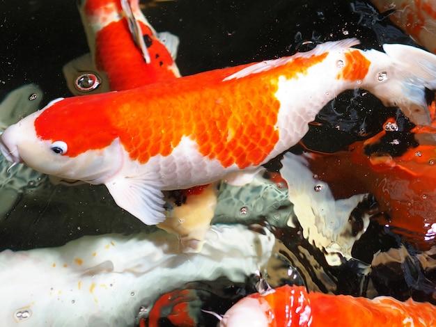 Close-up carpas peixes na água.