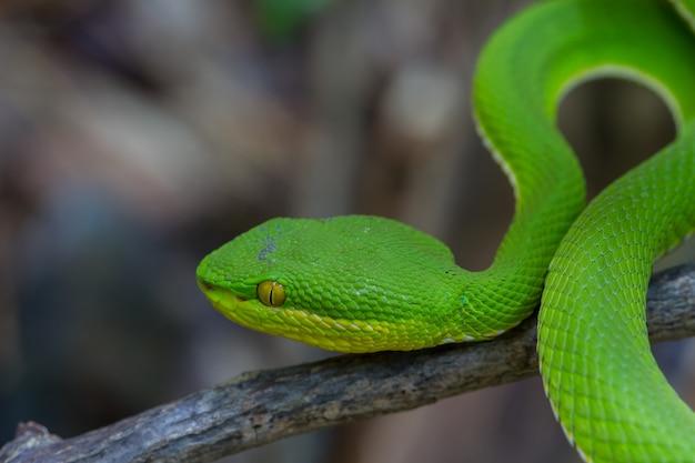 Close-up cobra viper pit verde-amarelo