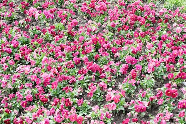 Close up colorido roxo dos amores-perfeitos. canteiro de flores com flores de viola