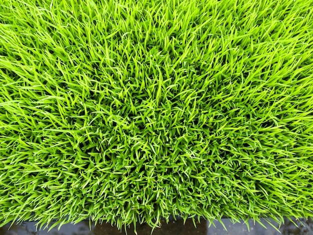 Close-up cor verde de brotos de arroz, vista superior