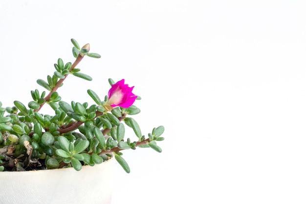 Close-up coral carpet sedum álbum planta suculenta isolar em branco