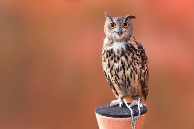 Close-up coruja animal de estimação em pé e olhando para a câmera com desfoque de fundo marrom