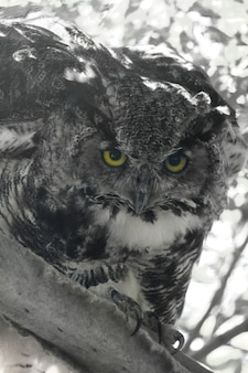 Close-up coruja olhando para a câmera