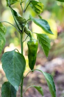 Close-up crescente bonito dos pimentos doces. pimentos verdes suculentos frescos na macro ramos