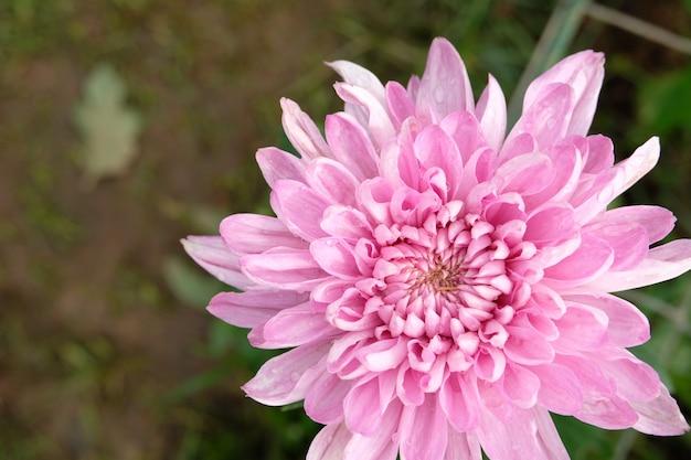 Close-up crisântemo rosa flor flor linda, flor no jardim