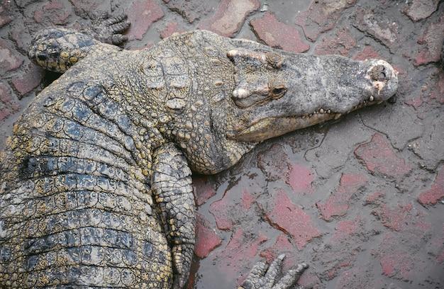 Close-up, crocodilos, descansando, em, fazenda crocodilo, em, tailandia