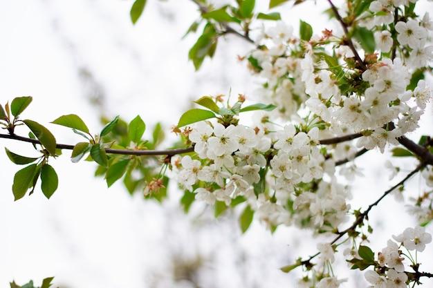 Close-up da árvore de florescência. coloque sob a inscrição.