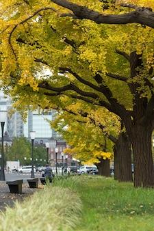 Close-up da árvore gingko no outono