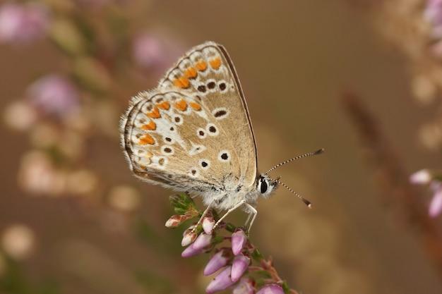 Close-up da borboleta marrom argus (aricia agestis) com asas fechadas