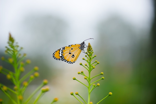 Close-up da borboleta plain tiger danaus chrysippus visitando flores na natureza em um parque público e