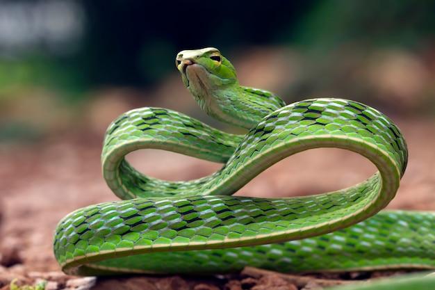Close up da cabeça da cobra de videira asiática no close up do animal do ramo vista da videira asiática